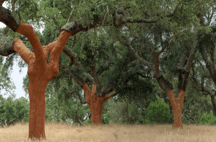 Rolha de cortiça, da árvore para a garrafa